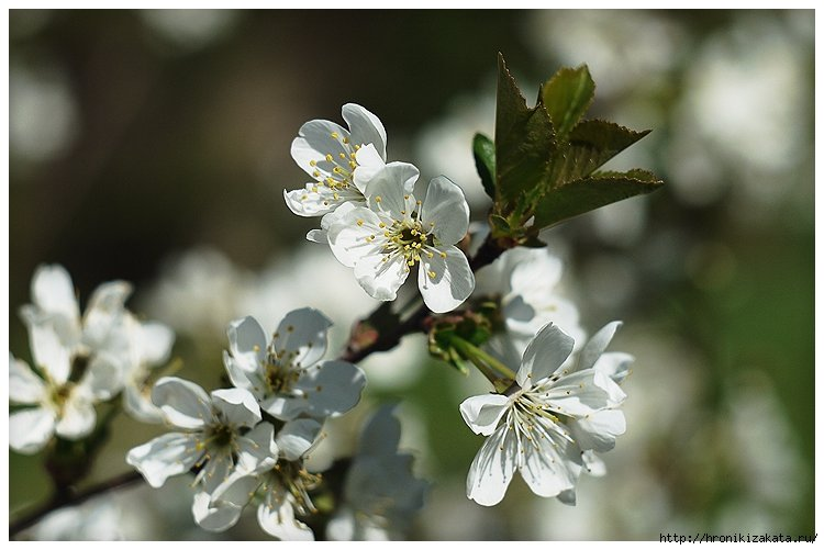 фото, весна, оренбург, яблоня