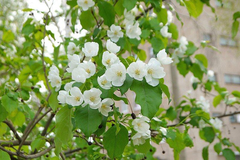 Крупный план цветущей прямо у домов яблони