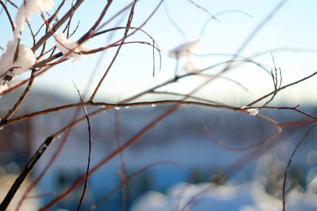 ветки, тайга, лес, фото, фотография, весна, капли